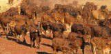 Protecting our industries - Mardie Station mustering
